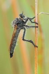 Barbarossa-Fliege