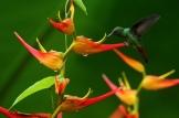 Braunschwanz-Amazilie