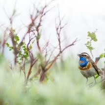Blaukehlchen, Schweden