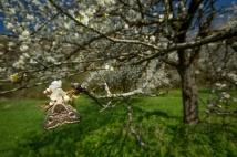 im blühenden Kirschbaum