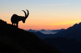 Steinbock in den Schweizer Alpen