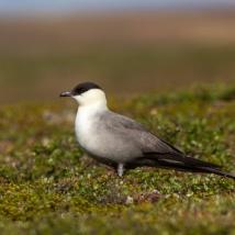 Falkenraubmöwe (Stercorarius longicaudus)