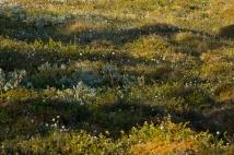 ein kleines Moor mit Wollgras (Eriophorum sp.), Krähenbeere und Kriech-Weide (Salix glauca)