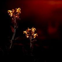 Lappländisches Läusekraut (Pedicularis lapponica)