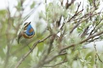 Blaukehlchen in Kriech-Weide