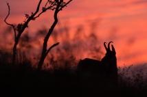 Gämse kurz vor Sonnenaufgang