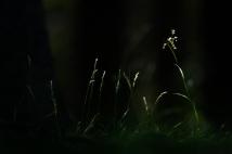 Weiße Hainsimse (Luzula luzuloides)