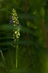 Weißzüngel (Pseudorchis albida)