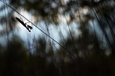 Gottesanbeterin (Mantis religiosa) im Gegenlicht