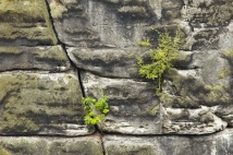 junge Bäume klammern sich an den Fels