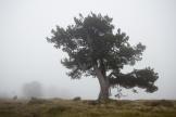 Nebelkiefer