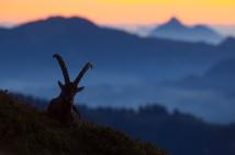 Bock im Morgengrauen