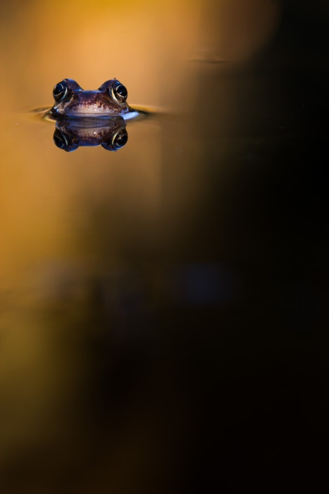 Frosch im Lichtspot