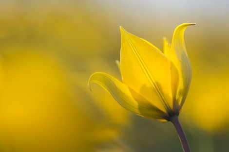 Wildtulpe (Tulipa sylvestris)