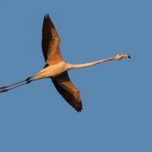 ein junger Flamingo