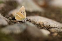 Weißdolch-Bläuling (wohl Polyommatus damon)