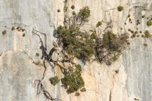 Geier und Kiefer in der Felswand