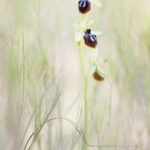 Ophrys provincialis