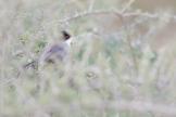 Samtkopf-Grasmücke